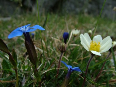 Spring Gentian and Mountain Aven