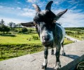 Vinnie the Goat on Doolin Cave Nature Trail