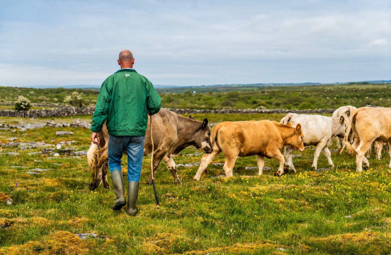 Burren Cattle Drive, The Burren, Co Clare_Web Size